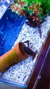 アメリカザリガニを新水槽へ入れる