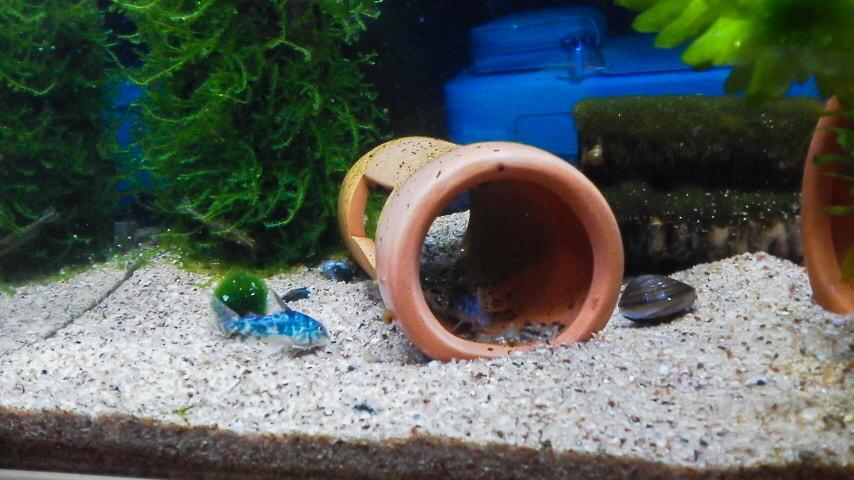 水槽に入った青コリ