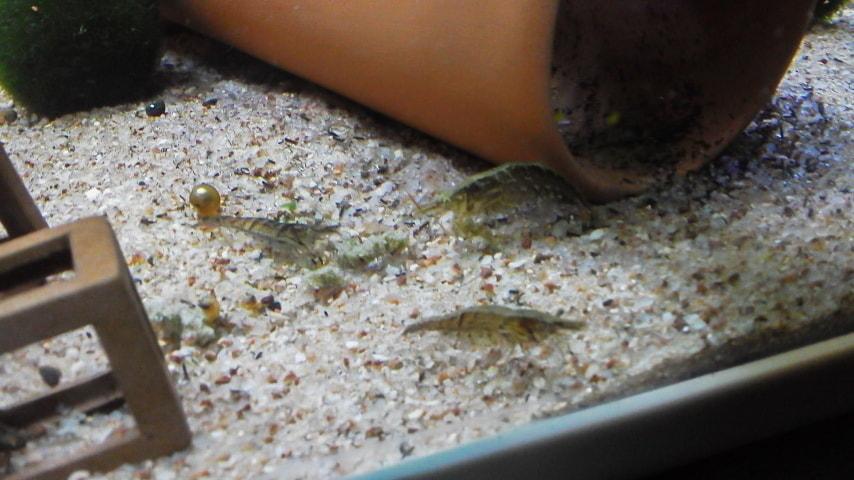 コリドラスの餌を食べるミナミヌマエビ