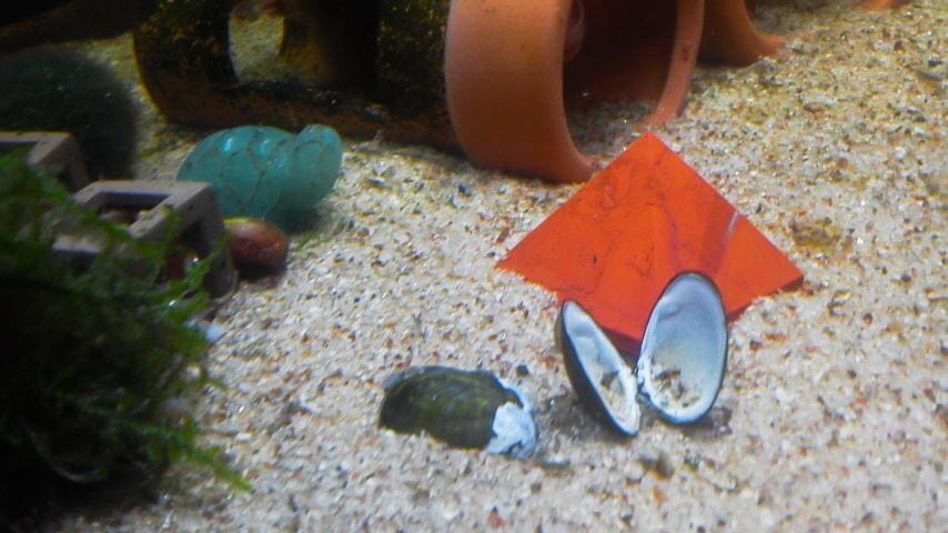 貝殻とじみのすけ